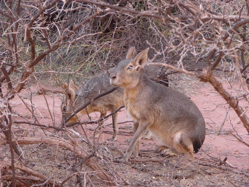 Liebre Mara, Parque Nacional Talampaya