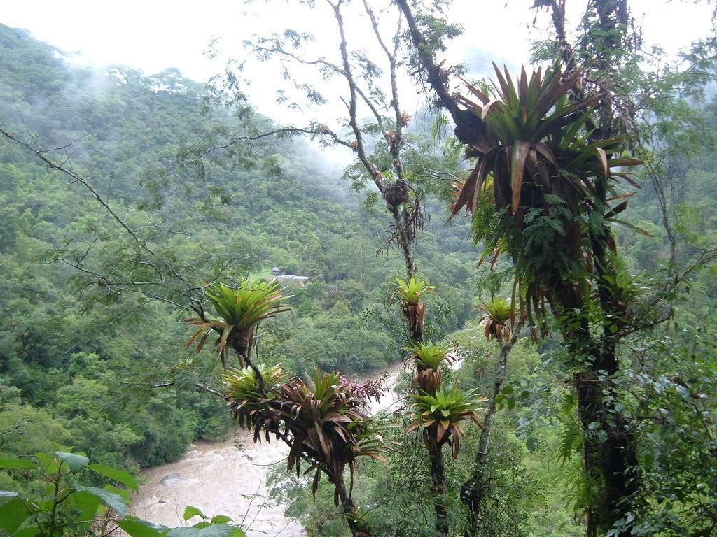 Bromelias en Baritú